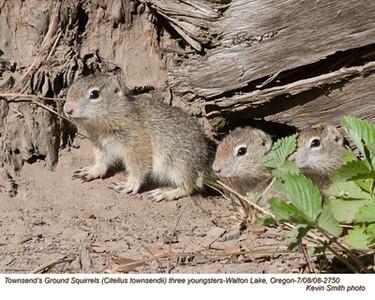 Townsend'sGroundSquirrelsY2750.jpg