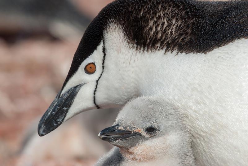 Baby penguin in Half Moon Island, Antarctica