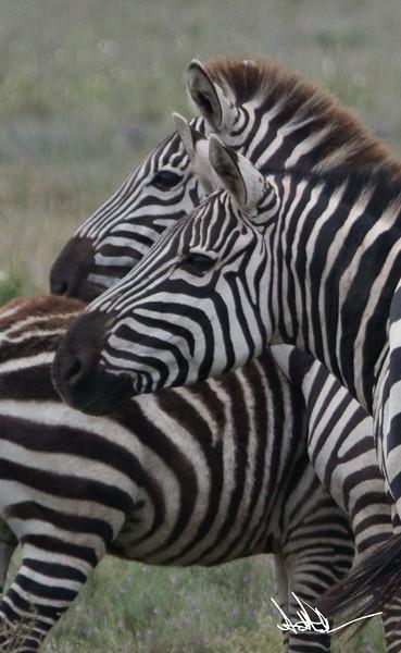 ZebraS-20.jpg