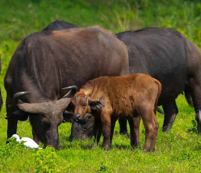 Cape Buffulo  Arusha NP Tanzania  2014 07 03.JPG.JPG