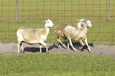 Sheep Herding 6-5-2021