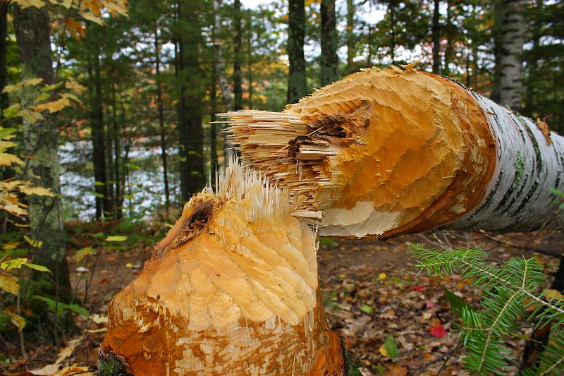 Beaver cut birch tree.