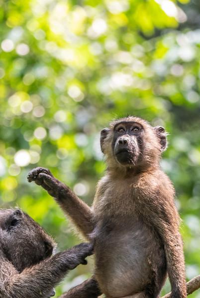 Uganda_T_Chimps-1447.jpg