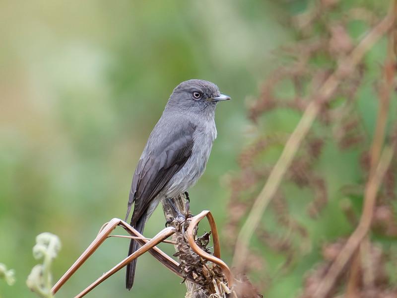 Abyssinian Slaty-flycatcher