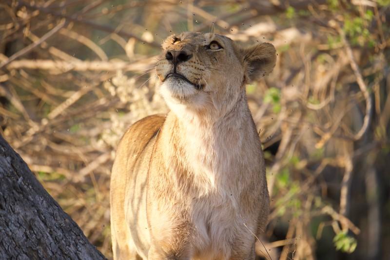 Lions near a recent kill, Shinde camp, Botswana