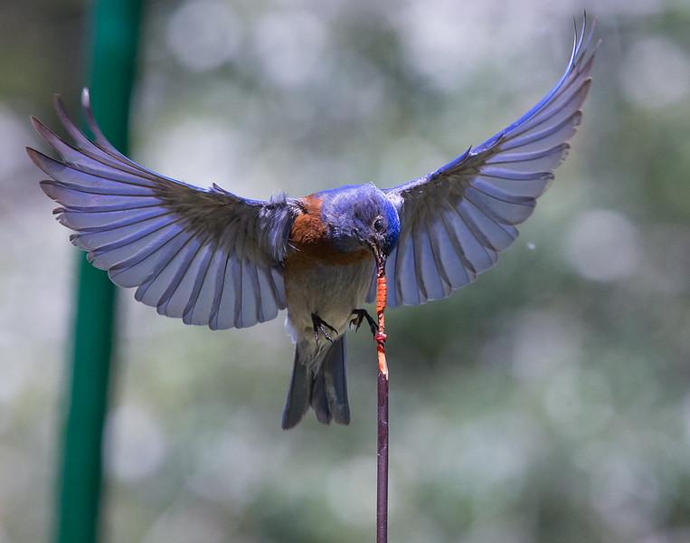 Robin-117.jpg