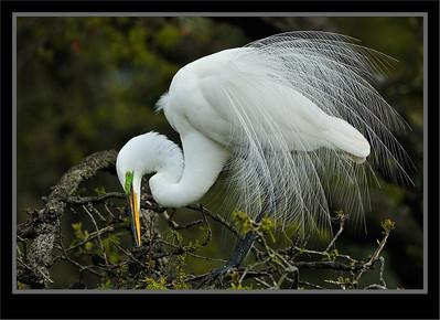 Bitterns, Egrets, Herons, Ibises, Spoonbill, Storks