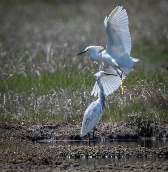 DSC_2167-Edit Hybrid Snowy EgretxLittle Blue Heron and Snowy Egret.jpg