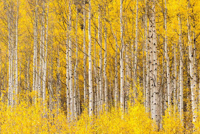 Aspens, Study 3, Colorado