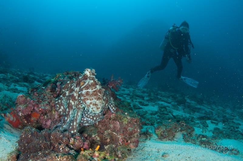 Octopus and diver, Richelieu Rock, Thailand