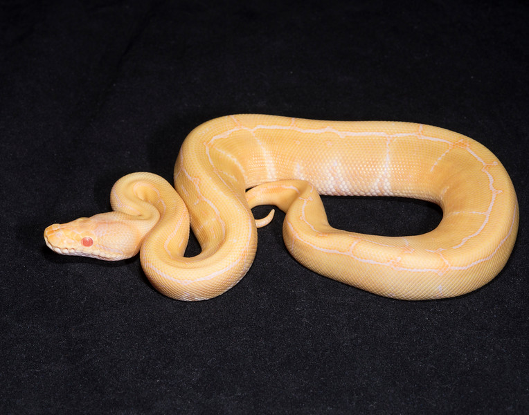 097MAPIN, male Albino Pinstripe, $200