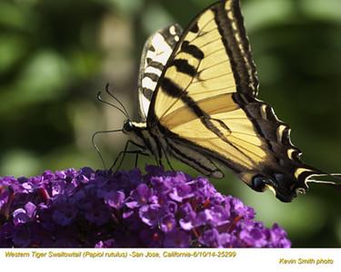 Western Tiger Swallowtail 25299.jpg