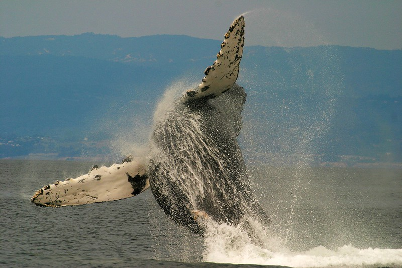 Humpback Whale Monterey CA 256_5681 FINAL.jpg