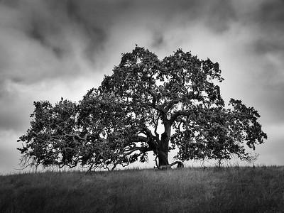 Trees of Arastradero Preserve