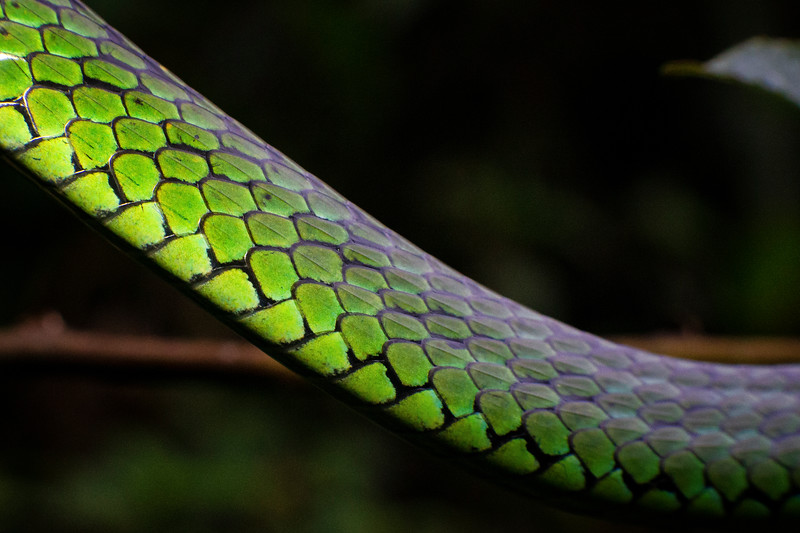 Tree Snake, Cosñipata Valley