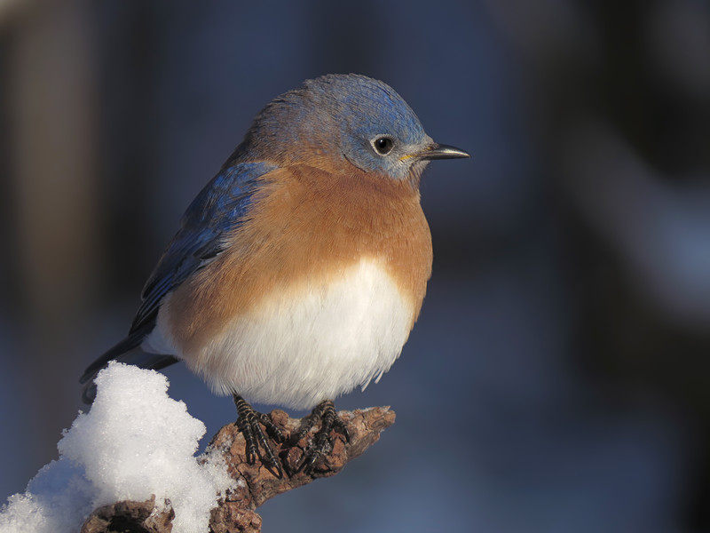 sx50_bluebird_boas_060.jpg