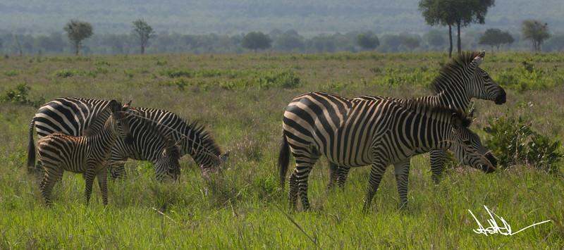 ZebraS-17.jpg