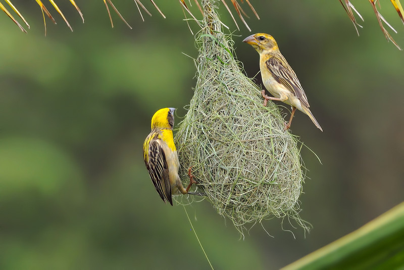 Baya Weaver female (above), inspecting the nest built by the male (below).....  Male gets to mate and have a family with this female, only if she likes the place... :-)