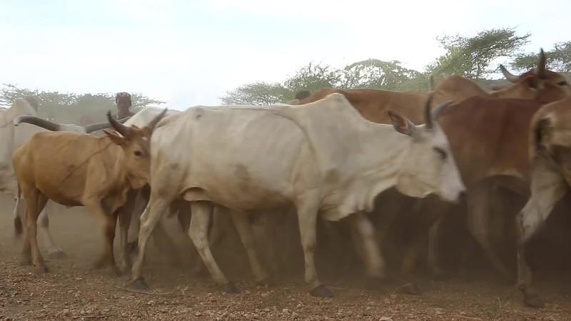 שבט ההאמר באתיופיה