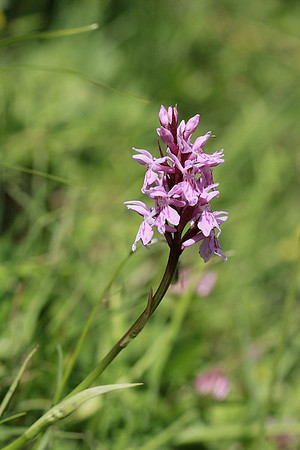 Orchis , ophris et compagnie