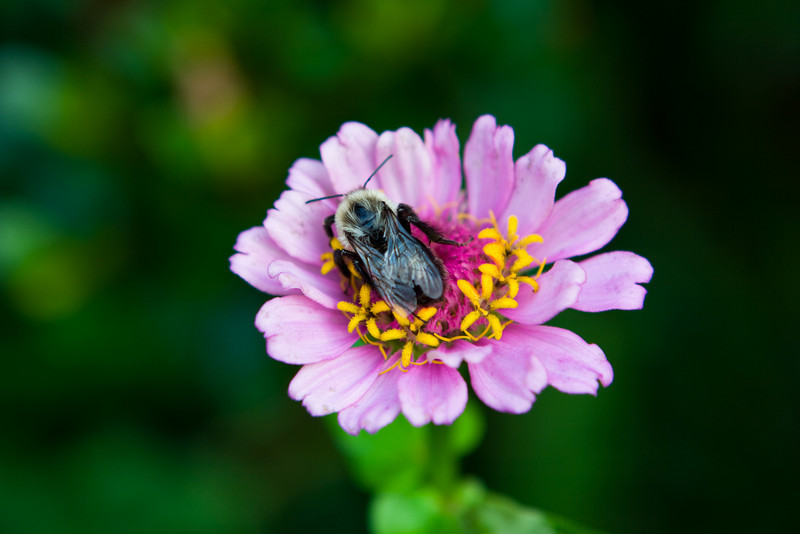 Bee on a flower in our backyard.  Recovering (or maybe not) from a thunderstorm.