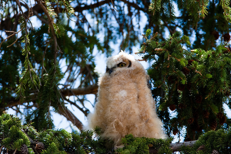 A Great Horned Owlet just before fledging. This owlet is about 2 months old and days from flight. Mother was sleeping nearby in a building. The past two years, this young ones parents have been nesting near the visitors center in Mammonth Hot Springs.