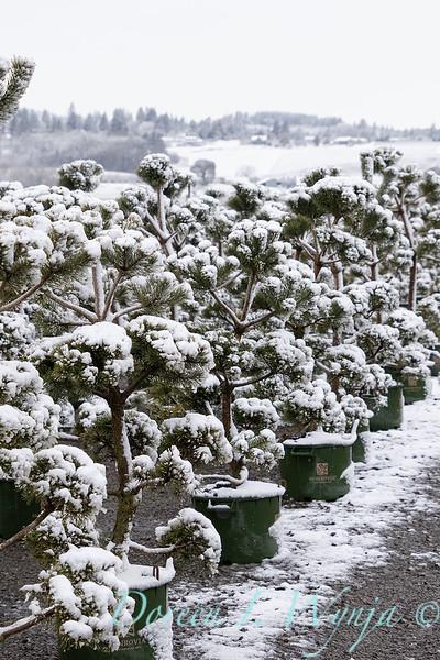 Pinus sylvestris 'French Blue' can yard in snow_4151.jpg