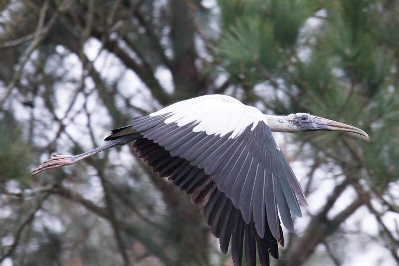 Wood Stork SC 2019-4.jpg
