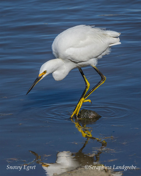 _DSC3736Snowy Egret reflection.jpg