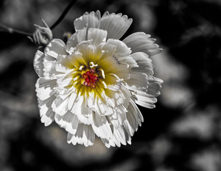 Gravel Ghost Flower
