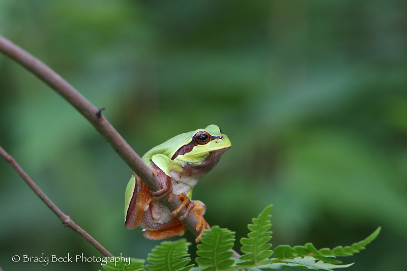 Pine_barrens_treefrog_ready_to_jump.jpg