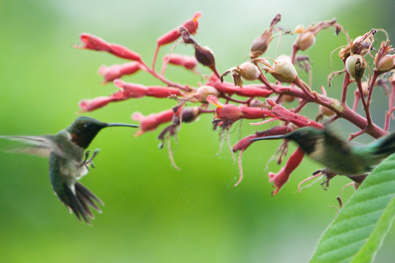 "Hummingbird - Ruby Throated Hummingbirds (both m) - ""Hummer Fight 1705"" - No photo makes me more upset than missing this shot with too slow a shutter."