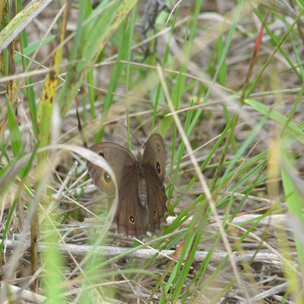 Common Wood Nymph butterfly, in Area 5 (Photo by Thomas Jackman)