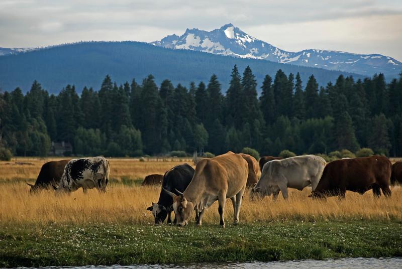 Rodeo Cows_DSC9323.jpg