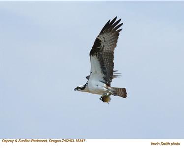 Osprey&Fish15847.jpg