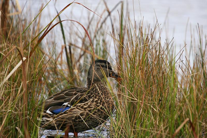 Mallard Duckie.Kent Pond. Killington VT