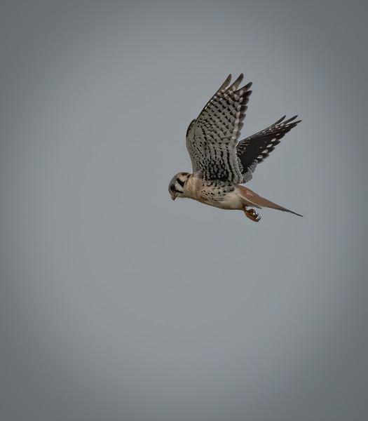 _6001818-Edit-American Kestrel male looking down.jpg