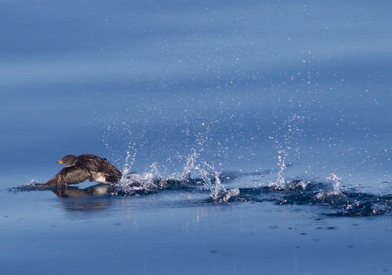 Rhinoserous Auklet   Orange County Waters  2014 01 11-1672.CR2
