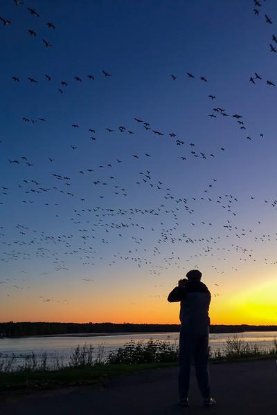 oies blanches  automne  migration