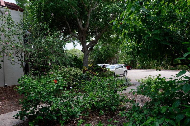 Mango Tree At the West Parking Area Sanibel Moorings