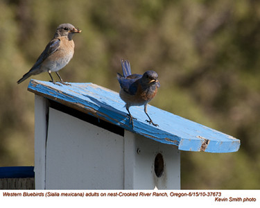 WesternBluebirdsP37673.jpg