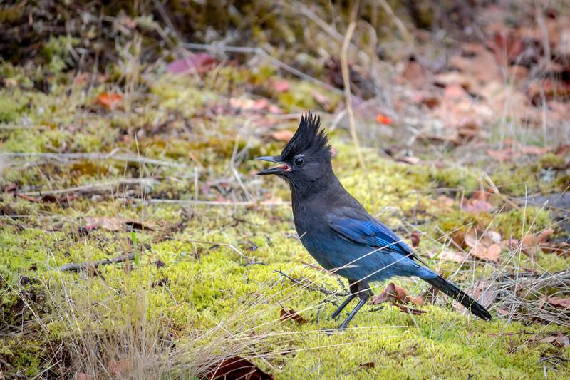 stellar jay squawking.jpg