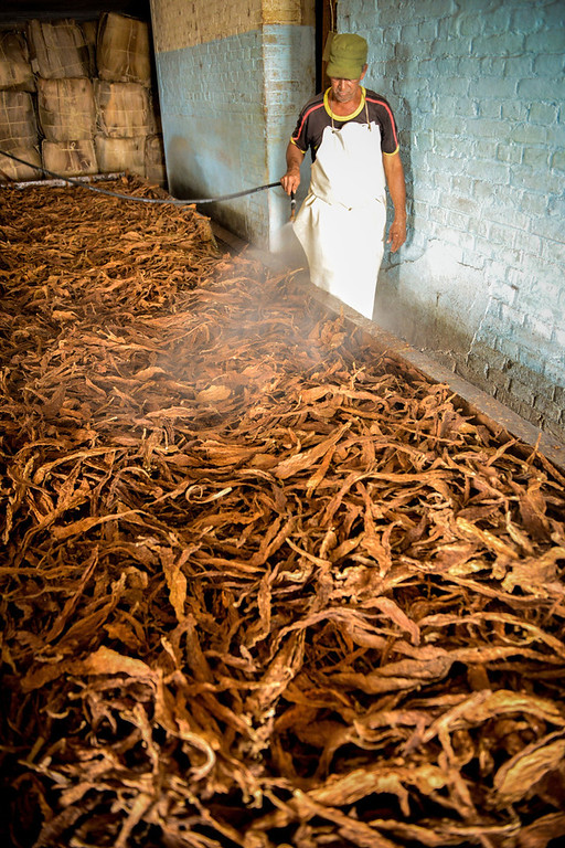 . A Cuban worker sprays tobacco leaves, on February 25, 2014 in a treatment house, on February 25, 2014 in the San Juan y Martinez municipality, Pinar del Rio province, Cuba. The production of Cuban cigars experienced an 8% growth in 2013 adding 447 million dollars to the Cuban economy. The XVI Havana Cigar Festival is running in Cuba with the presentation of the best Cuban cigars.    (ALBERTO ROQUE/AFP/Getty Images)
