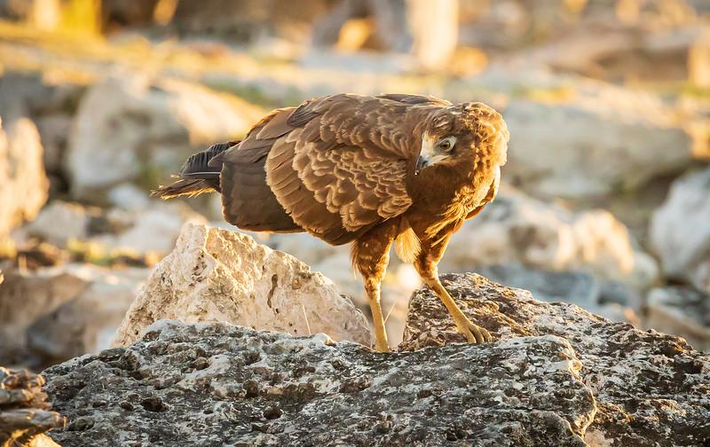 Hunting Harrier Hawk 2