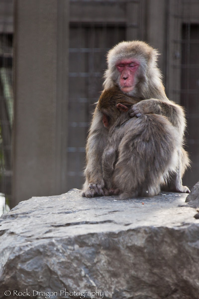 Japanese Macaque's, Calgary Zoo