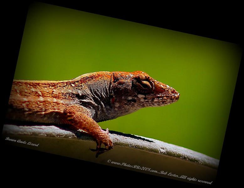 Brown Anole Lizard_IMG_7212 2__.jpg