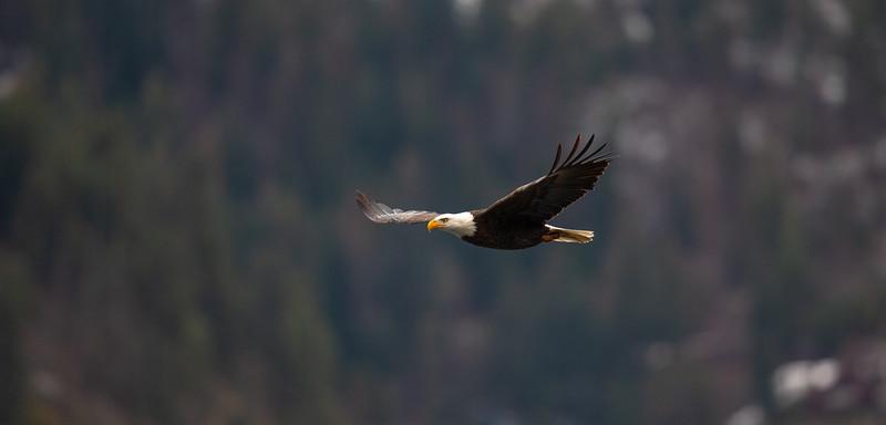 Bald Eagles 2018