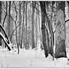Reynolda Gardens Trees in Snow #11