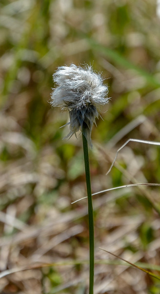 Cotton Sedge