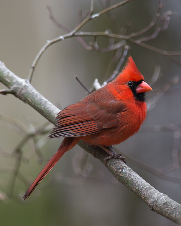Pretty Boy Posing (Male Cardinal)